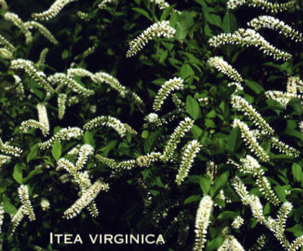Woody plants from southern perennials and herbs hz shrub or small tree grown for its hanging spikes of white flowers in the spring and for its gorgeous fall and winter leaf color which changes from red to mightylinksfo
